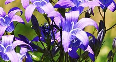 Dzwonek rozpierzchły Campanula patula gatunek kwalifikujący do wariantu 4.5./5.5. Półnaturalne łąki świeże w ramach PROW 2014-2020
